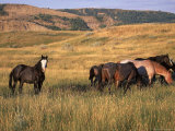 American Wild Horses  North Dakota Badlands