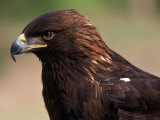 Golden Eagle (Aguila Chryseatoe)  CA