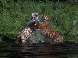 Bengal Tigers  Panthera Tigris  Endangered Species