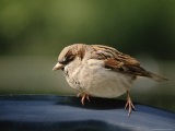 Sparrow  Central Park  Nyc