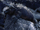 Marine Iguanas  Amblyrhynchus Cristatus