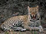 Leopard  Panthera Pardus  Londolozi Game Reserve