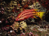 Streamer Hogfish  Bodianus Diplotaenia