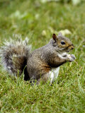 Grey Squirrel Holding a Piece of Food
