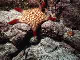 Panamic Cushion Star  Pentaceraster Cumingi