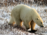 Polar Bear  Ursus Maritimus on Tundra in Churchill