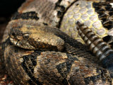 Timber Rattle Snake  Crotalus Horidus