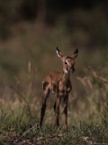 Impala Body  Aepyceros Melampus