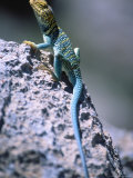 Colored Lizard on Rock