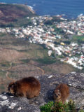 Rock Hyrax  Procavia Capensis  Table Mountain