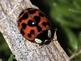 Lady Bug  Coccinellidae
