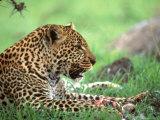 Kenya  Africa  Leopard  Panthera Pardus