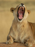 Lion Roaring  Namibia  South Africa