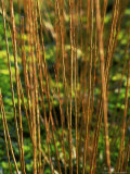 Salix Daphnoides (Violet Willow)  Close-up of Brownish Red Shoots