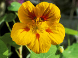 Tropaeolum Jewel (Nasturtium)