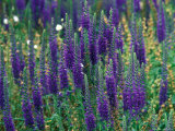 Veronica Spicata