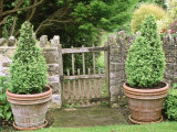 Small Wooden Gate in Stone Wall  with Cone Buxus (Box) Topiary in Containers