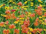 "Summer Partners  Crocosmia ""Seven Sunrise"" & Coreopsis"