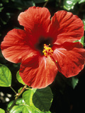Hibiscus Rosa  Sinensis (Chinese Hibiscus)  September