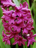 "Hyacinthus Orientalis ""Purple Dream"" (Hyacinth) Fragrant Flowers  Cerise Flowers on Thick Stem"