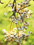 Sorbus Forrestii  Close-up of White Berries