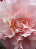 Camellia (Annie Wylam)  Shrub  Close-up of Pale Pink Flower