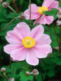 Japanese Windflower