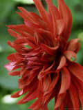 Dahlia &quot;Summer Night&quot; Perennial  Deep Red Black Spider Flowers Over Green Foliage