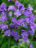 "Agapanthus ""Blue Globe"" (African Lily)  Bell Shaped Mauve Flowers with a Purple Strip in Petals"
