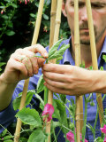 Pinching out Heads of Sweet Peas to Encourage Bushy Growth