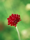 Knautia Macedonica  Close-up of Red Flower Head