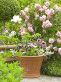 Terracotta Container of Summer Plants in a Rose Garden  Little Malvern Court Worcester