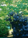 Foliage Plant Partners  Cotinus Coggyria & Catalpa Bignonoides  Late Summer