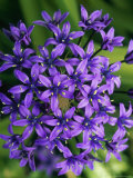 Scilla Peruviana (Cuban Lily)  Evergreen Bulbous Perennial