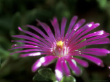 Delosperma Cooperi  Close-up of Pink Flower
