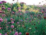 Verbena Bonariense Late Summer Sunshine  Holt Farm  Somerset