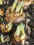 Narcissus Bulbs Sprouting January