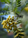Sorbus  Joseph Rock (Underneath Bunch of Berries on Stalk)