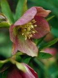 Helleborus Orientalis Hybrid (Lenten Rose)