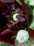 "Papaver Somniferum ""Black Peony "" (Opium Poppy)  Annual"