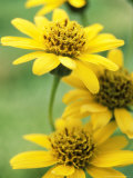Arnica Chamissonis