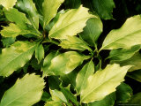 Aucuba Japonica (Spotted Laurel)  Evergreen Shrub