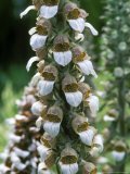 Digitalis Lanata (Wooly Foxglove)
