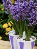 Blue &amp; White Painted Containers Planted with Hyacinthus &quot;Delft Blue &quot; Kerria Japonica in Background