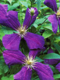Clematis Jackmanii Superba