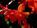 Crocosmia Syn  Antholyza  Curtonus  &quot;Warburton Red&quot; (Red Hot Poker)  Bright Orange Flower