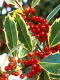 Handsworth New Silver (Holly)  Round Red Berries on Dark Green Prickly Leaves with Cream Margins