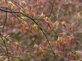 Acer Palmatum with Early Spring Growth & Raindrops