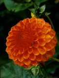 "Dahlia ""Orange Mullett"" Perennial"