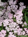 "Achillea ""Apple Blossom"" (Yarrow)"